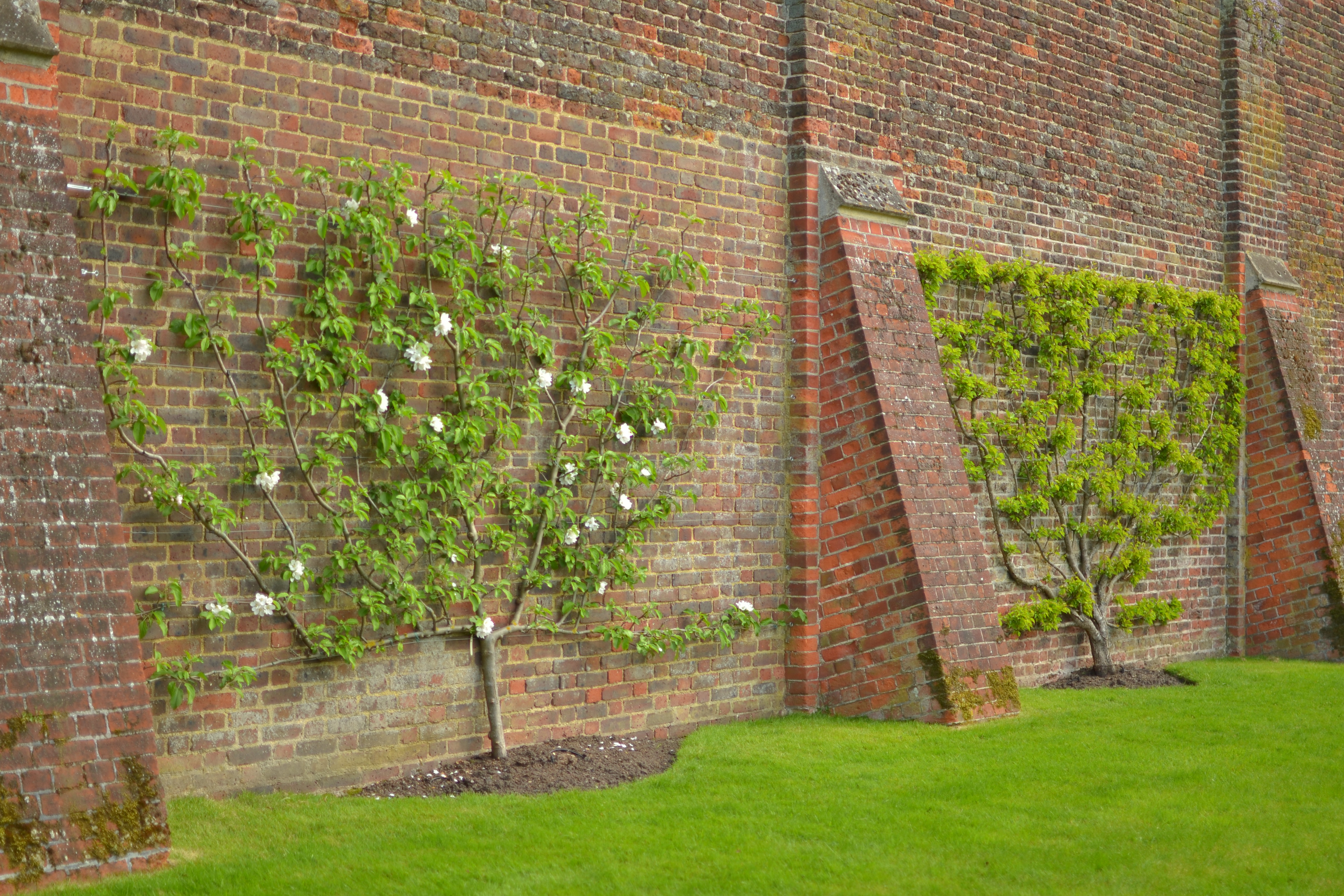 espalier apple trees Hampton Court Palace