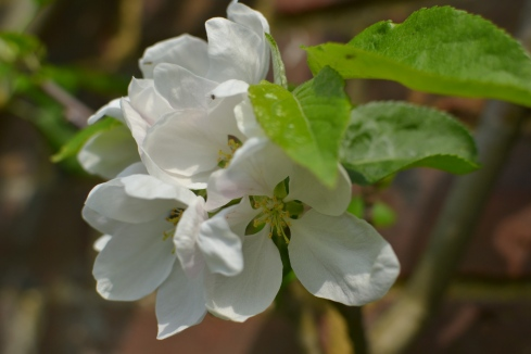 apple blossom closeup