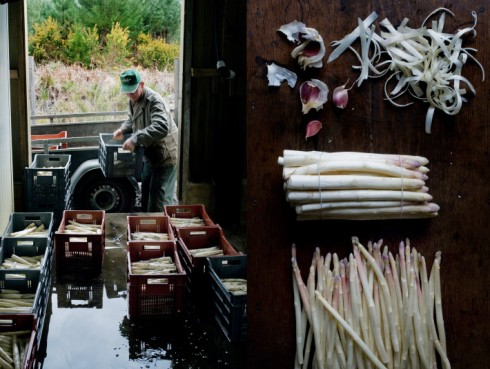 white asparagus picking manger
