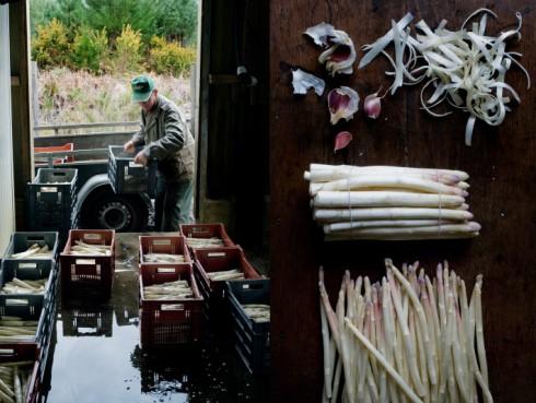 white asparagus picking manger
