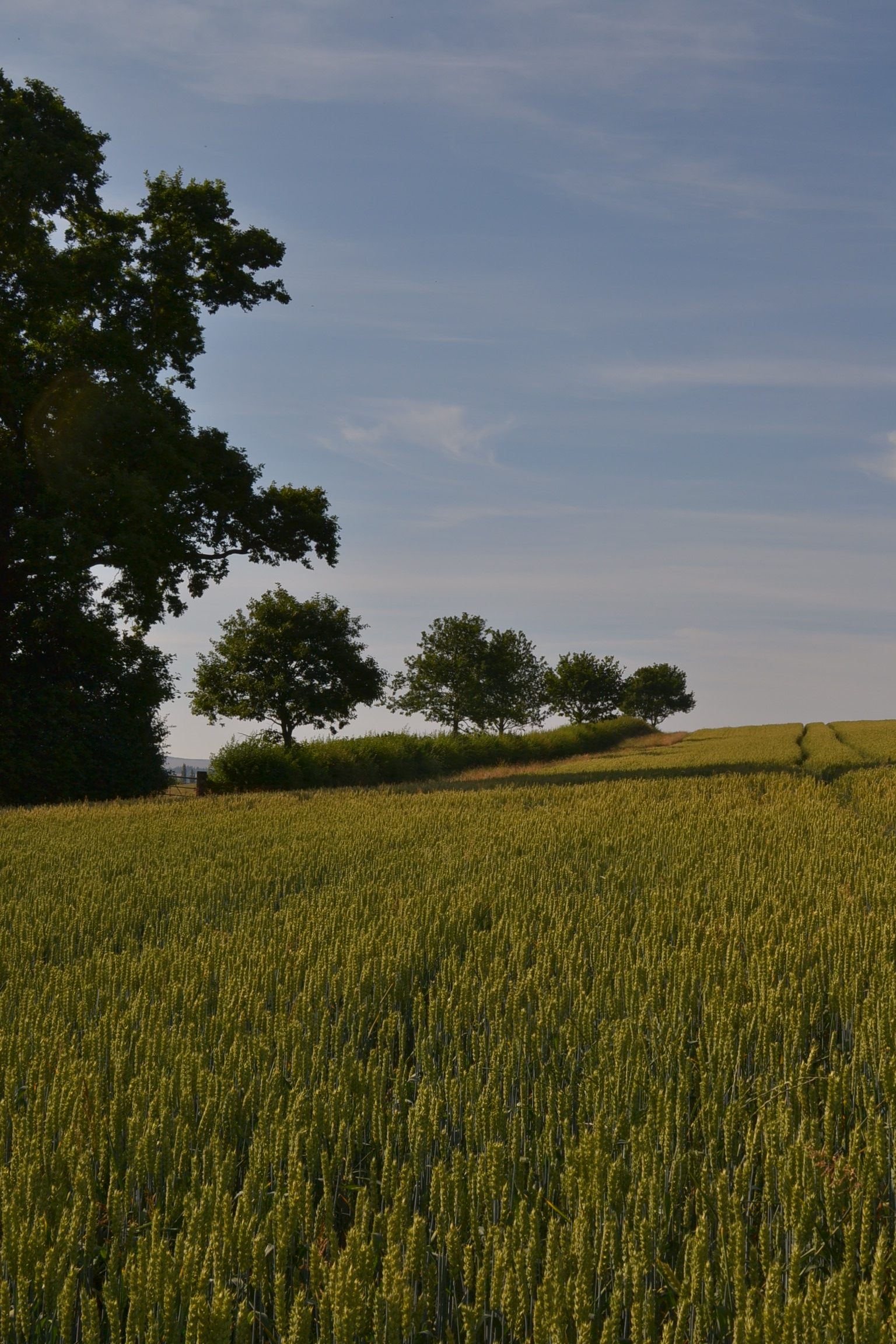 trees edging wheat field