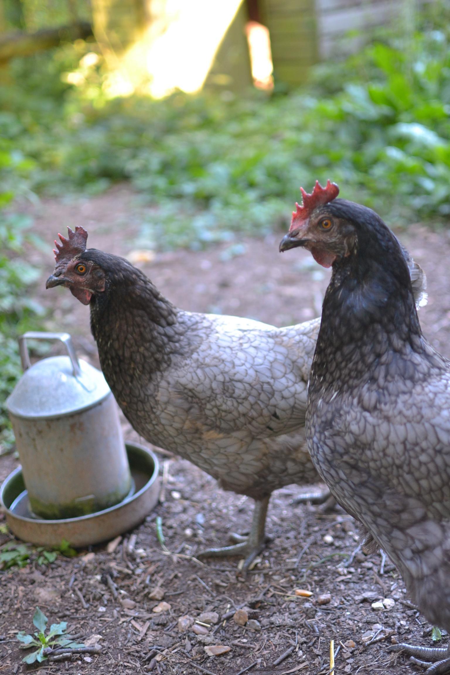 grey free range hens