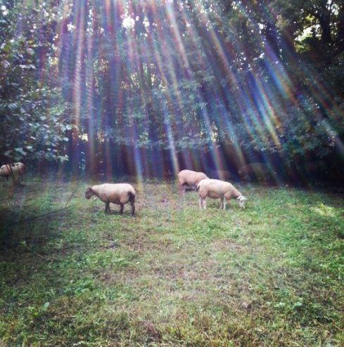 sheep in the garden